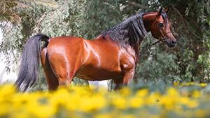 سجلات الخيول العربية و اختصارتها